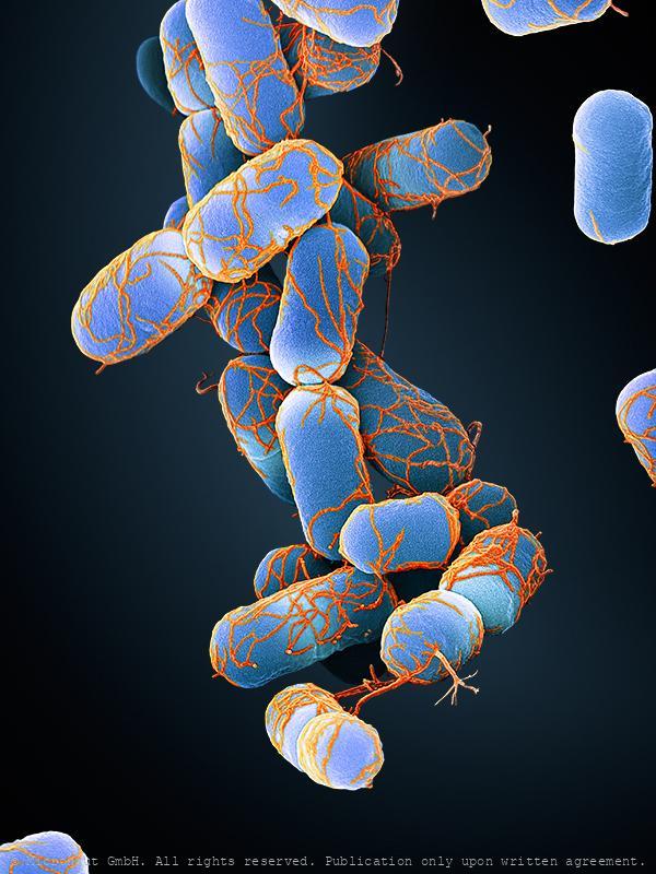 Escherichia coli bacteria, Nr.3 (blue)