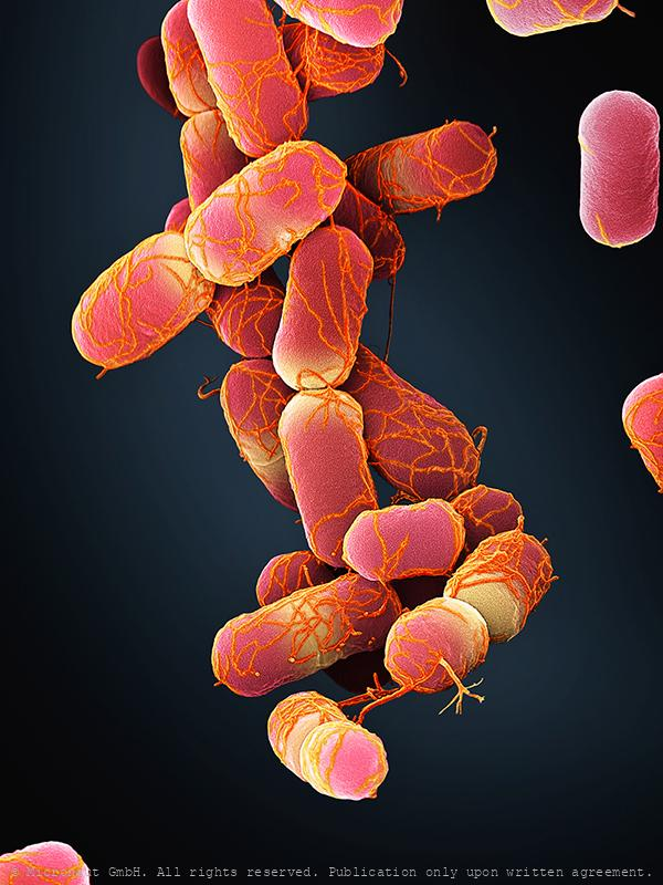 Escherichia coli bacteria, Nr.3 (red)