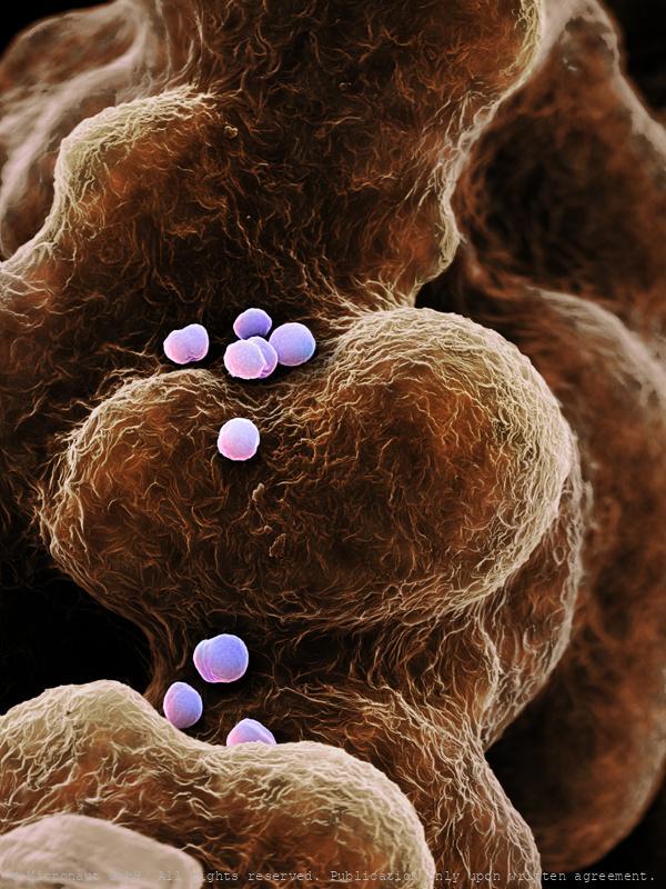 ©-Micronaut-Bacteria-Staphylococcus-FHNW001c1_mini