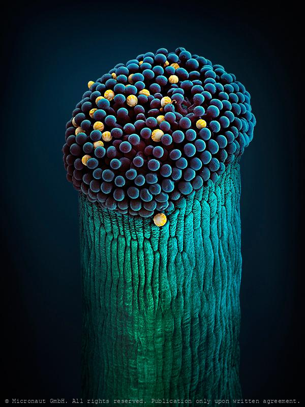 Borago (Borago officinalis) pistil