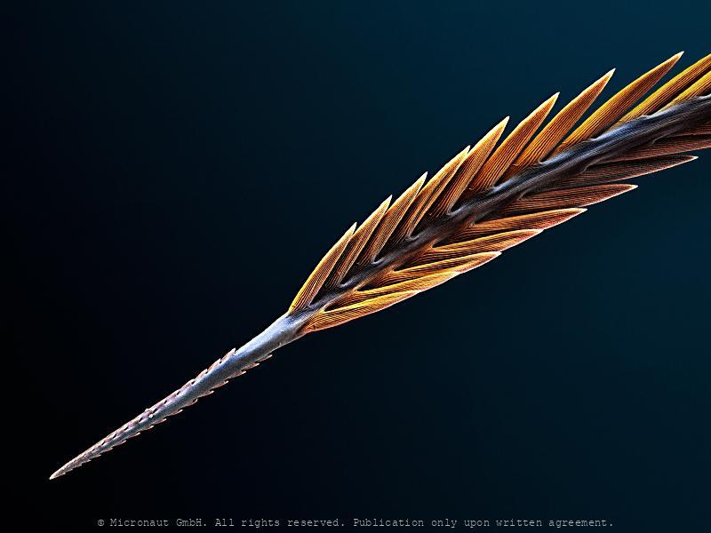Pixie dust with a rub in it (Brachypelma smithii)