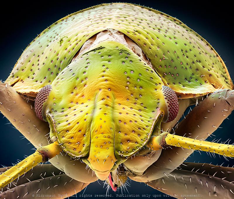 Juvenile eye (Pentatomidae)