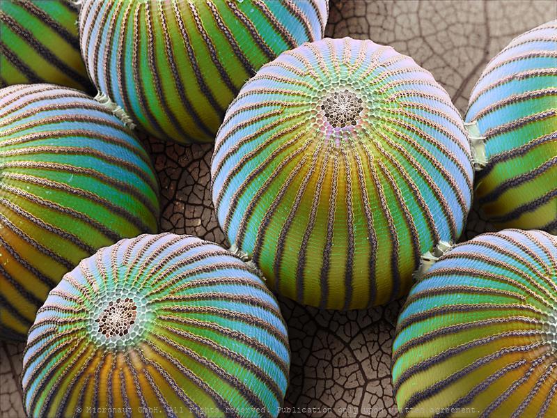 ©-Micronaut-Butterfly-Egg-Caligo-Memnon-PTU0012_mini_2
