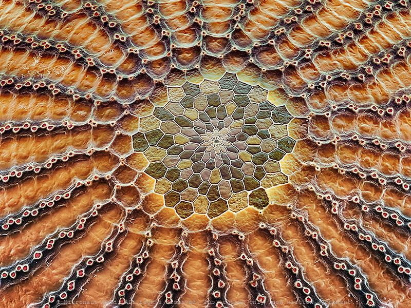 Micropyle (Caligo memnon)