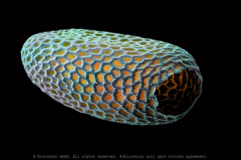 Moth egg (Cyclophora pendulinaria)