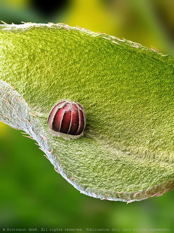 Butterfly egg of Erynnis tages