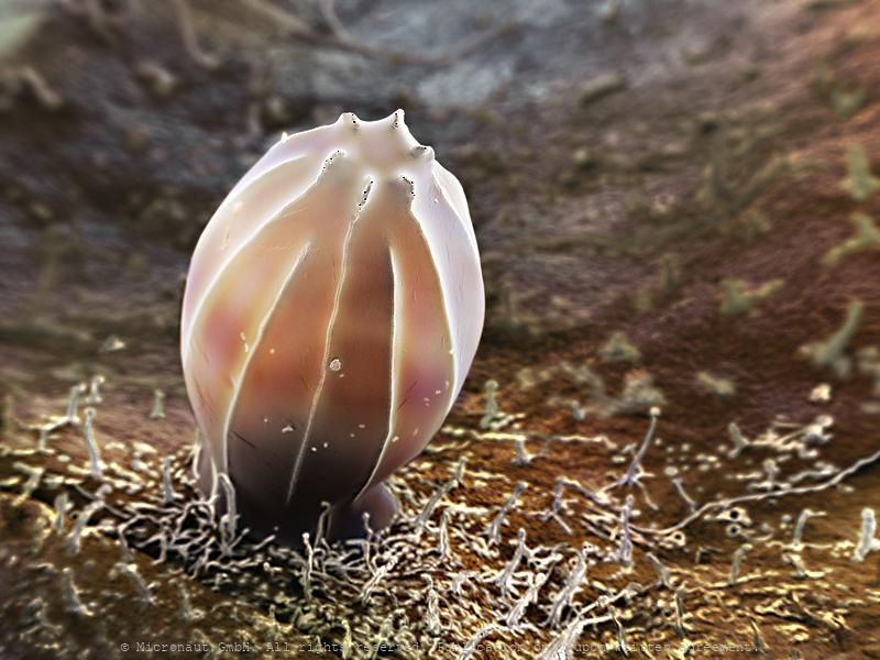 Butterfly egg of Hebo glaucippus