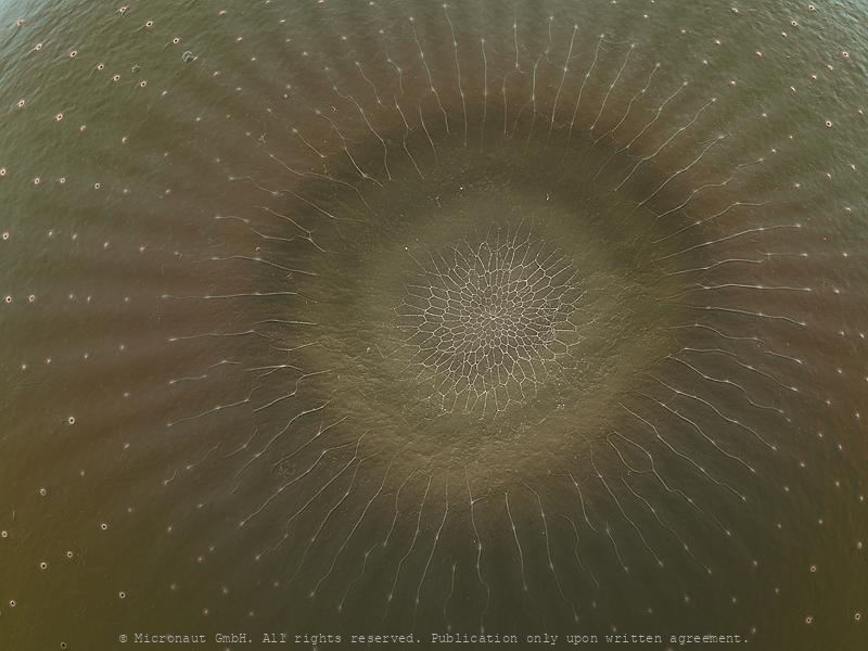 Charaxine micropyle (Prepona demophon)