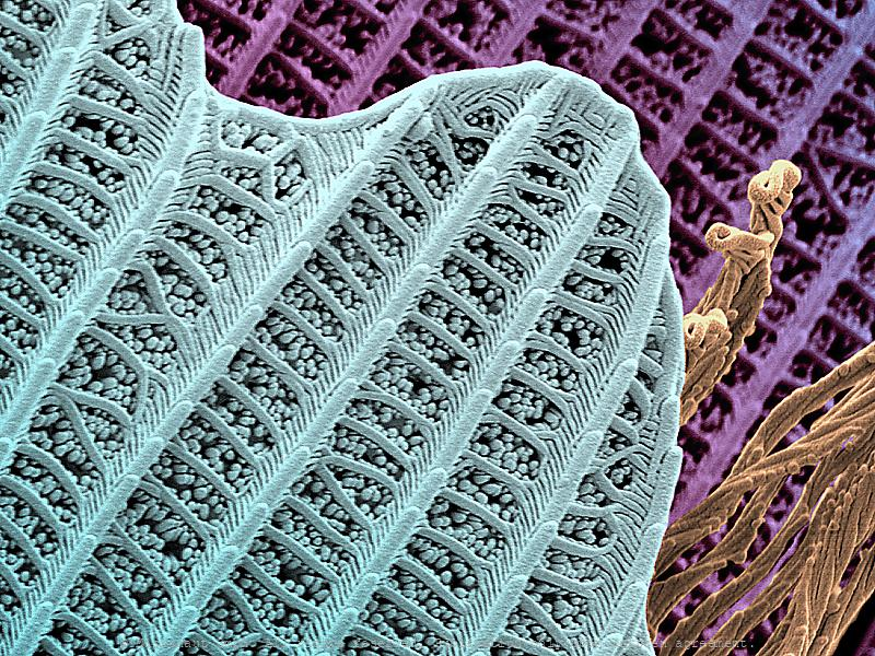 The scales on butterfly wings derive from highly complicated flat hairs. In certain species, they lead to iridiscent color by breaking the sunlight into different wavelengths.