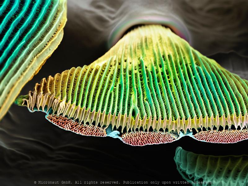 Gyroid structures (Parides sesostris)