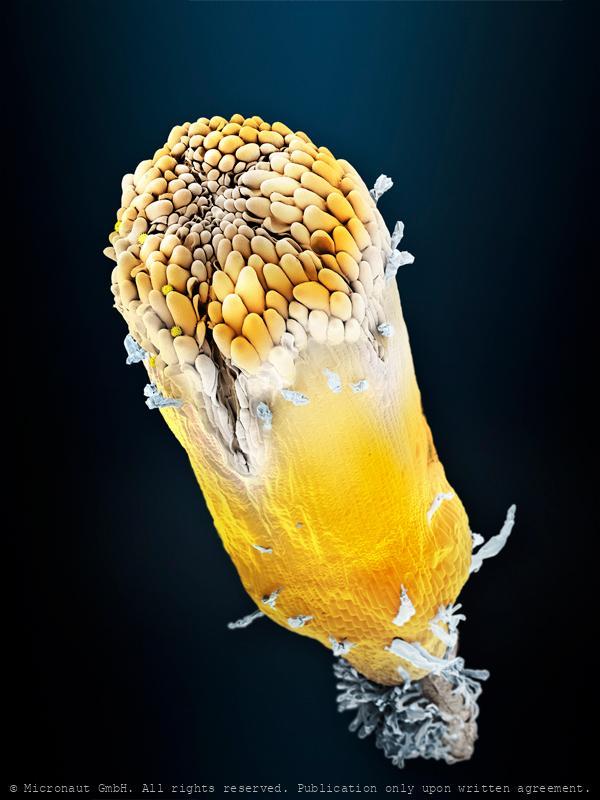 Daisy floret (Bellis perennis), Nr.2