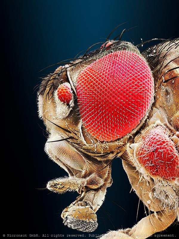Uneven brothers (D. melanogaster), Nr.1