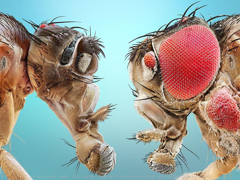 Uneven brothers (D. melanogaster), Nr.3