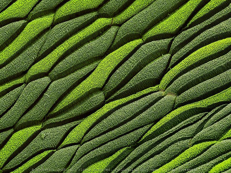 Daisy leaf (Bellis perennis)