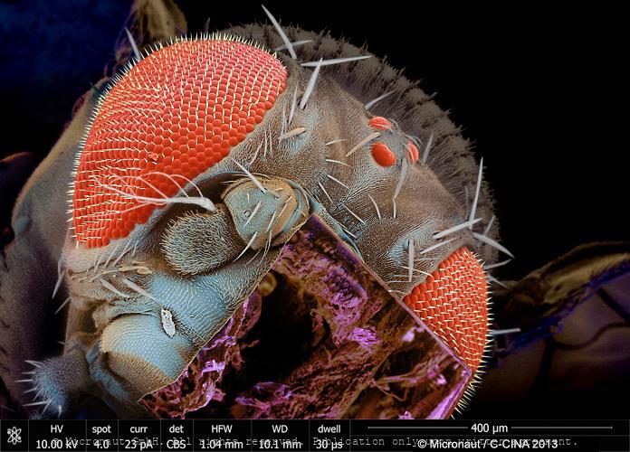 Fruitfly Head, FIB