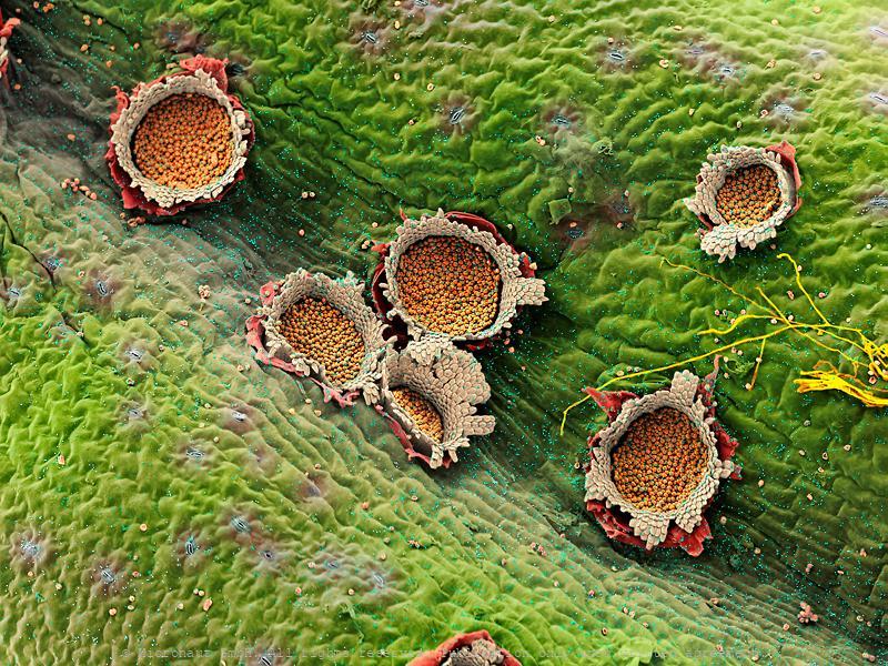 Rust fungus fruitbodies