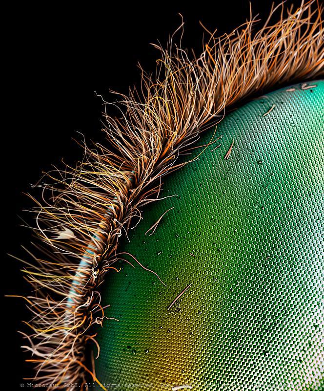 Hawkmoth eye (Acherontia atropos)