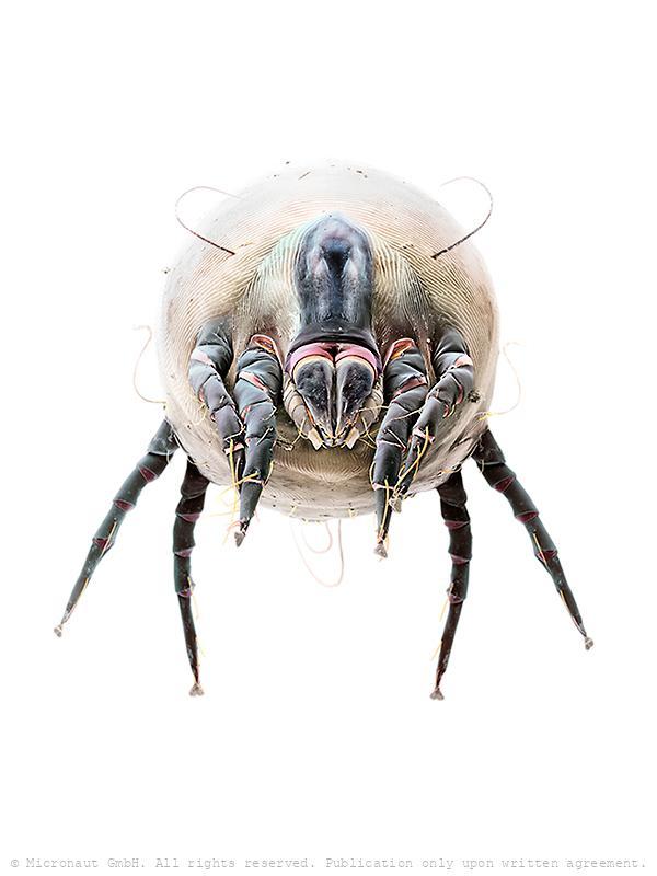 House Dust Mite (D. farinae) Nr.3