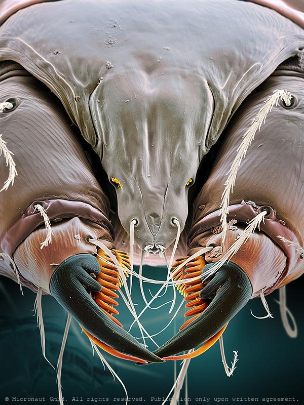 Mite (Cheyletidae, Leach 1815)