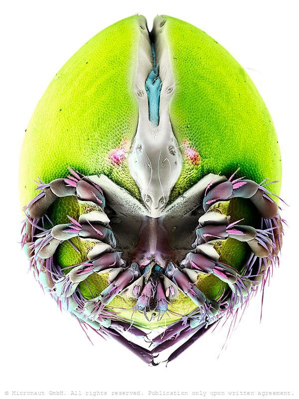 Watermite (Frontipoda sp.), Nr.2