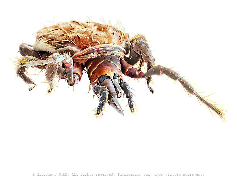 Predatory Mite (Gamasellus sp.), Nr.1