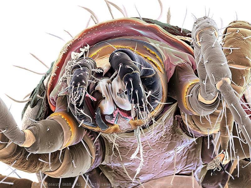 Predatory Mite (Gamasellus sp.), Nr.2