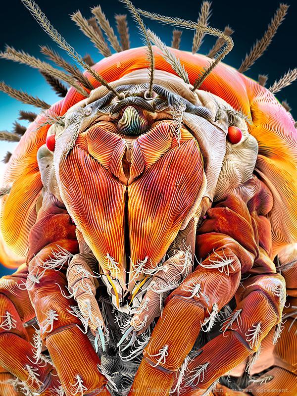Mite (Speleorchestes sp.)