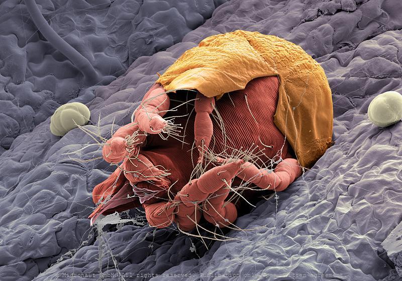 Hatching spider mite