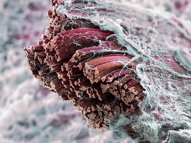 Skeletal muscle fibers (Mammalia)
