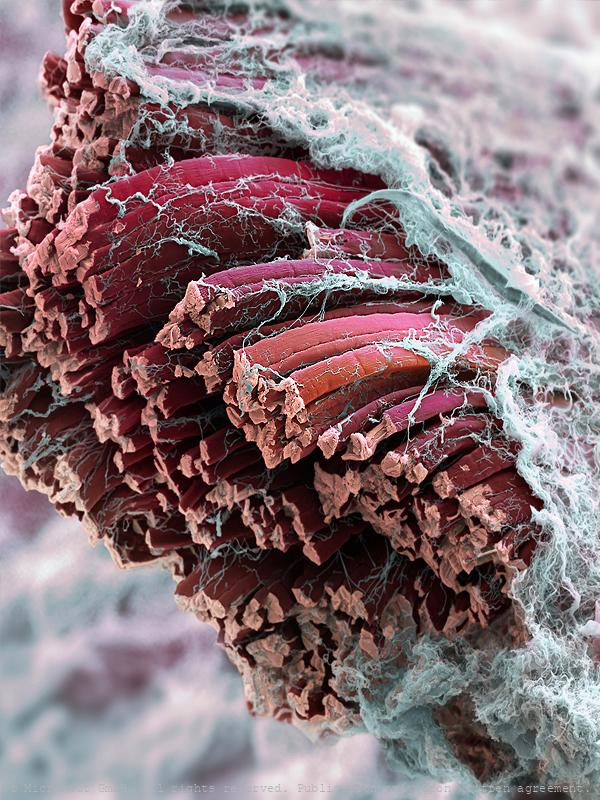 Skeletal muscle fibers (Mammalia)