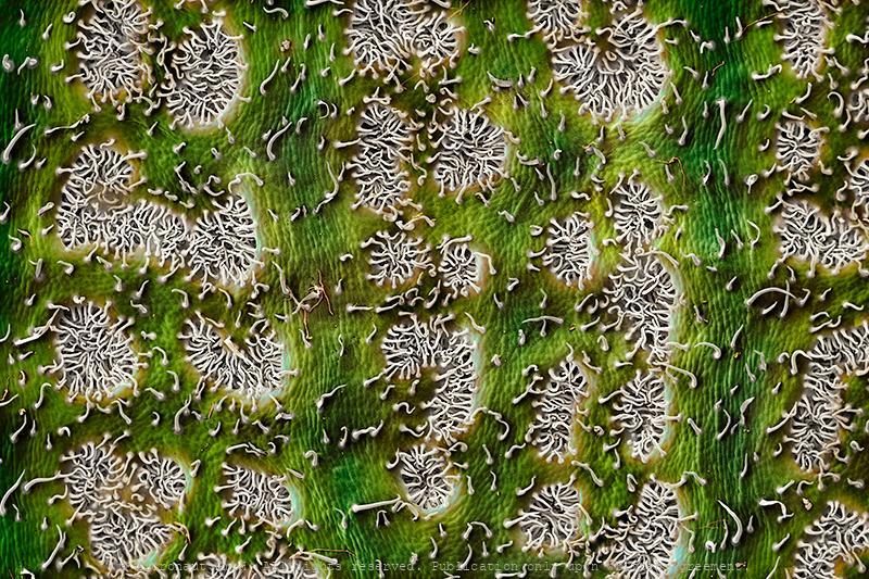 Peaceful Wilderness - The Oleander Leaf (Nerium oleander)