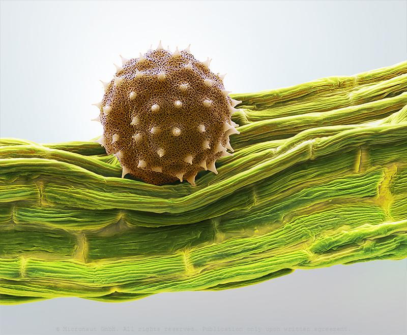 Pollen (Abutilon sp.)