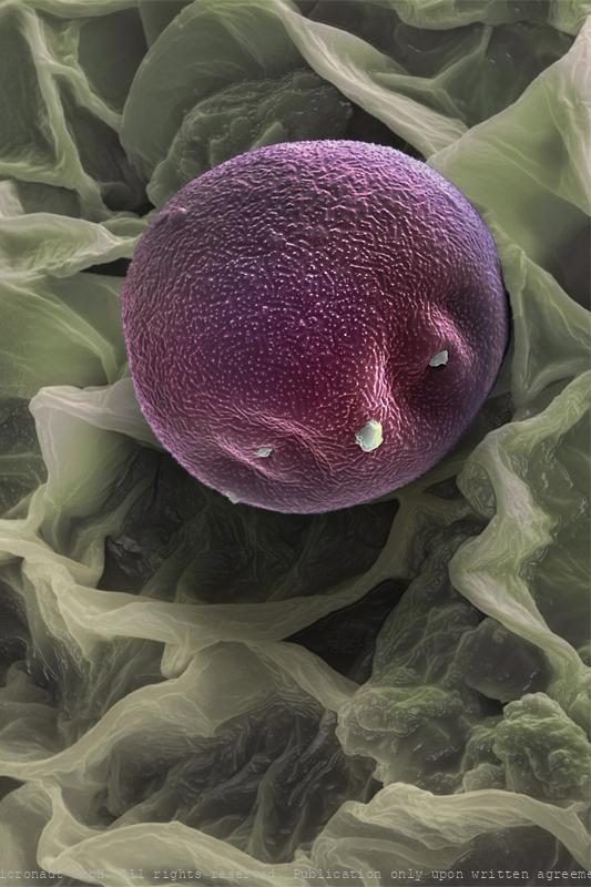 Alder pollen (Alnus sp.)