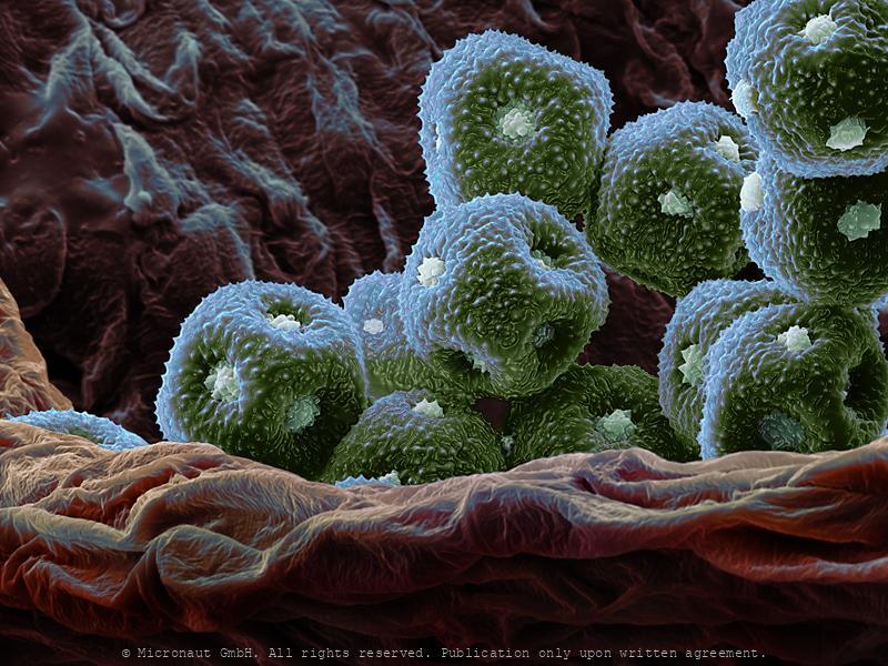Burhead pollen (Echinodorus paniculatus)