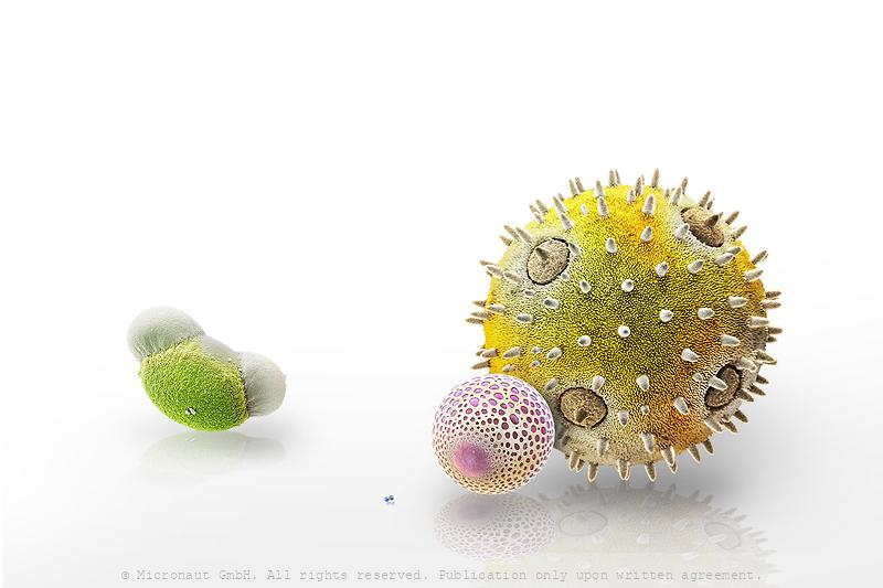 Pollen grains in comparison