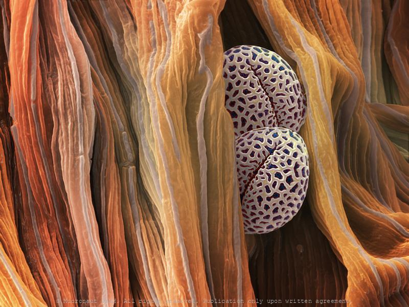 Pollen (Ilex sp.)