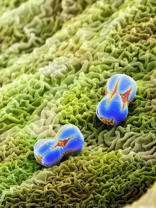 Forget me not pollen (Myosotis sylvatica), Nr.3