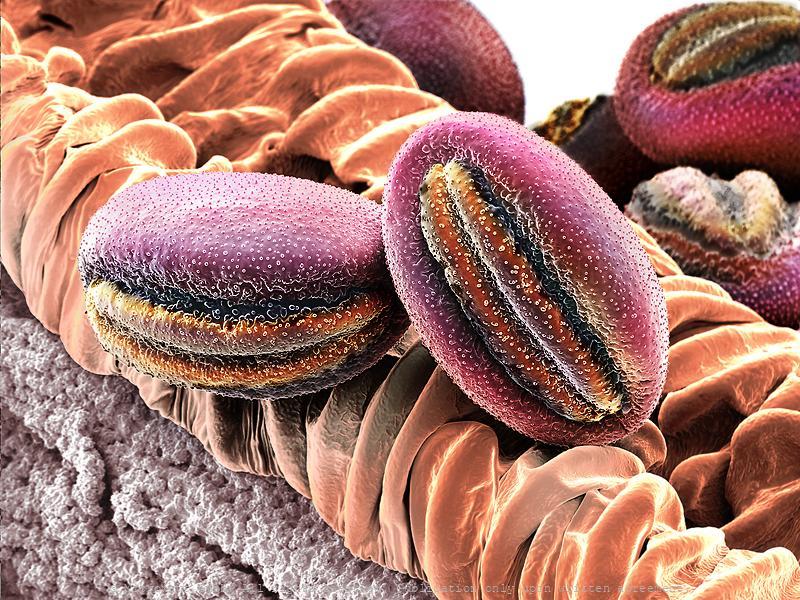 Pollen (Babiana sp.)