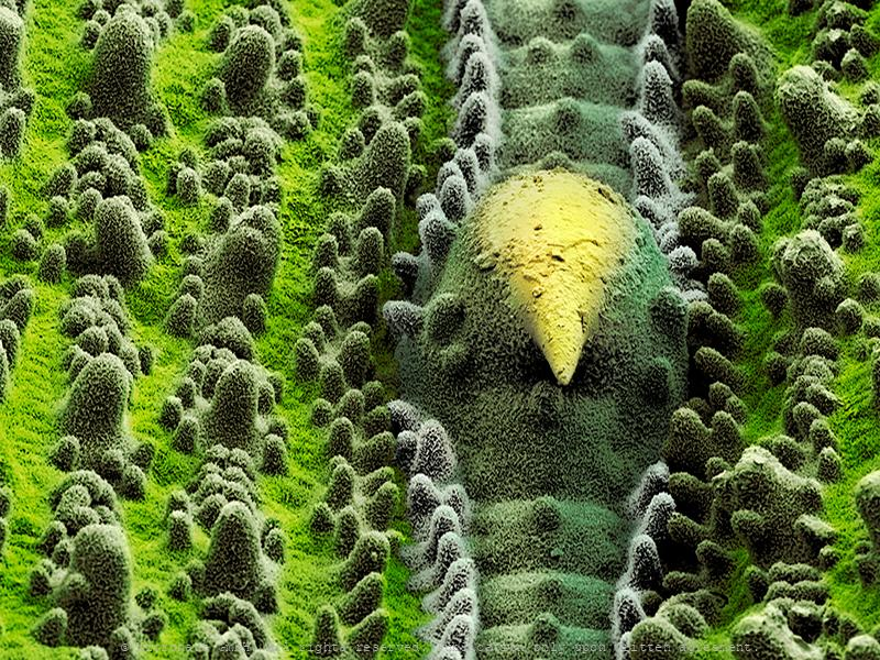 Rice leaf (Poaceae sp.)