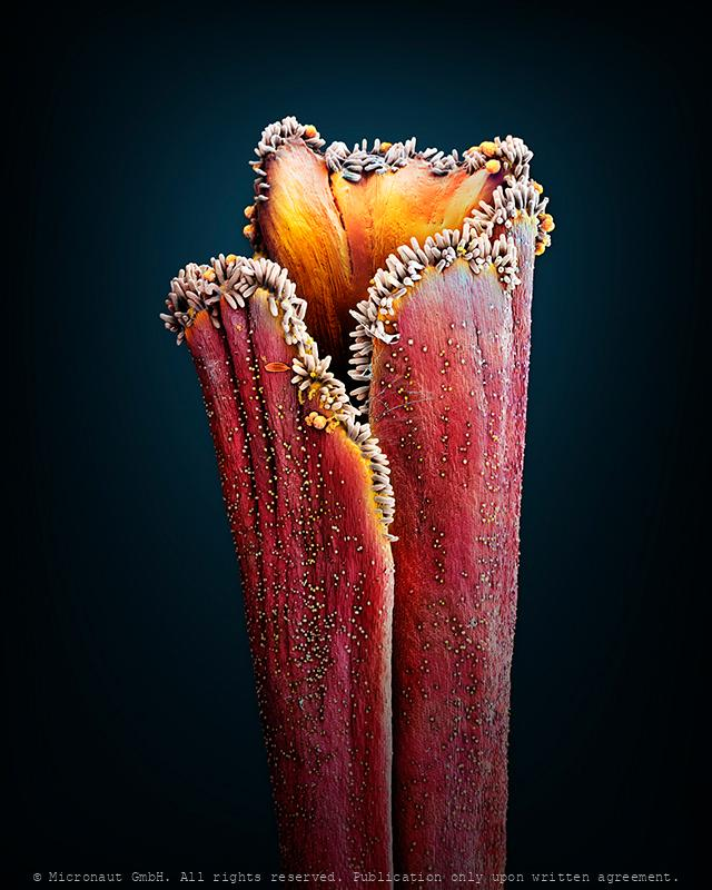 Saffron pistil Crocus sativus)