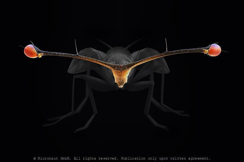 Stalk-Eyed Fly (Teleopsis whitei)